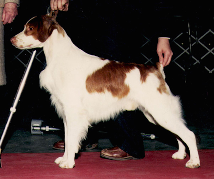 Brittany Bred By Ch Cimmaron's Hennessey Blend - OFA