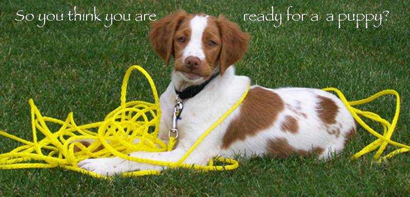 Brittan Puppy | So you are ready for a Brittany Puppy