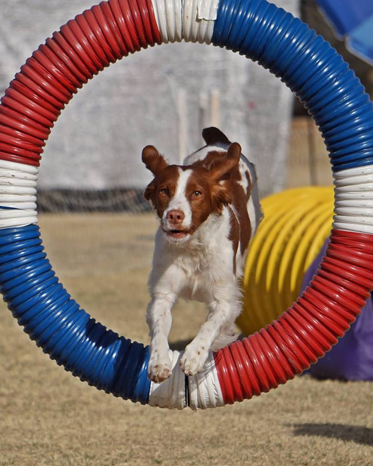 Agility Brittany